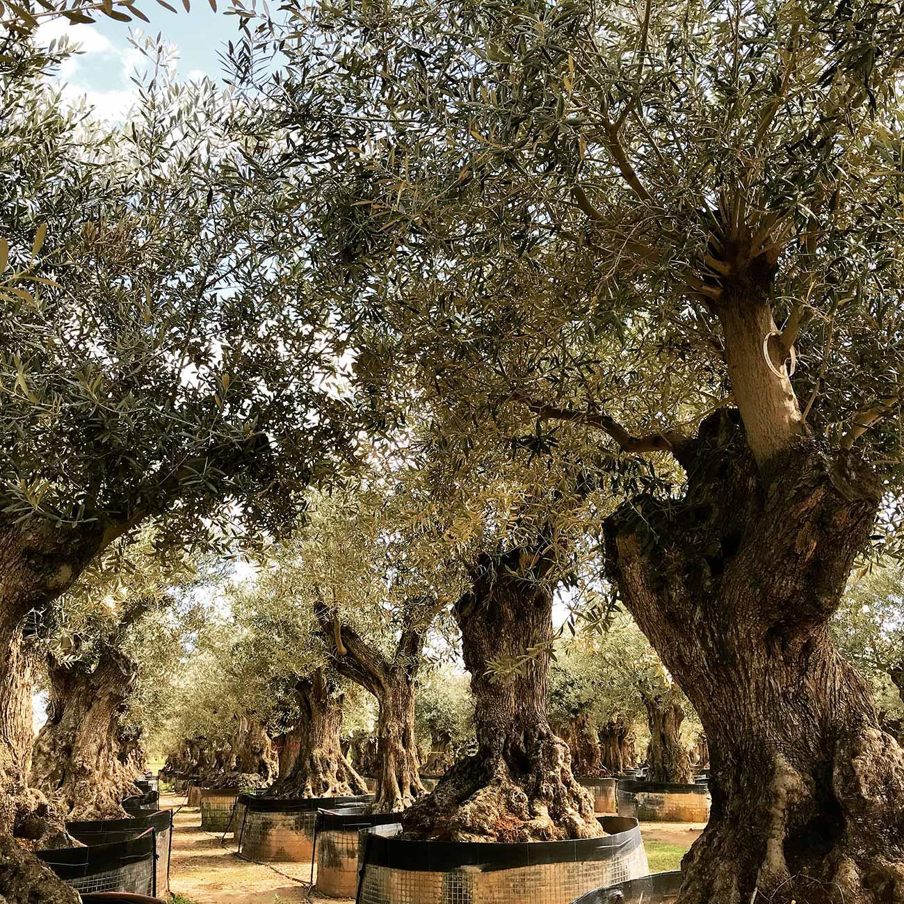 Sélection d'oliviers - Paysagiste Montpellier