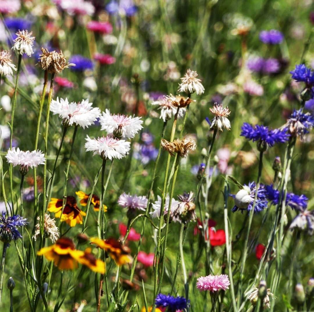 Prairie fleurie Zoom -jardin naturel - Architecte paysagiste concepteur - Montpellier & Aix en Provence - Atelier Naudier