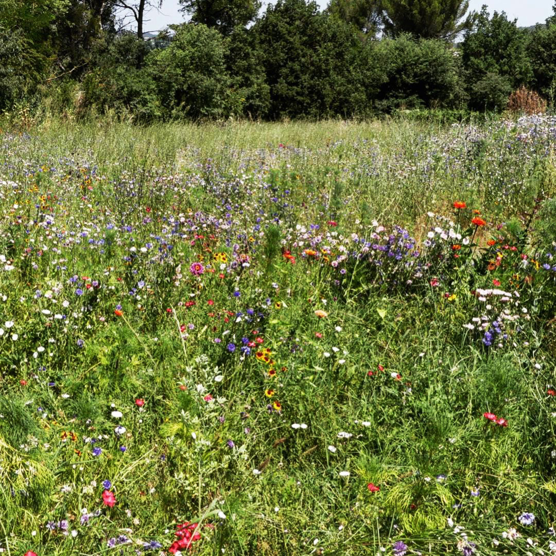 Prairie fleurie -jardin naturel - Architecte paysagiste concepteur - Montpellier & Aix en Provence - Atelier Naudier